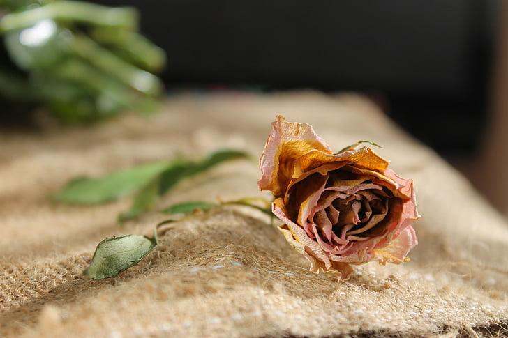 flor, flors, Rosa, RAM, sec, pètal, s'esvaeixen