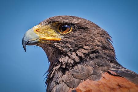 Harris hawk, parabuteo unicinctus, lintu, Luonto, Predator, nokka, Linnut