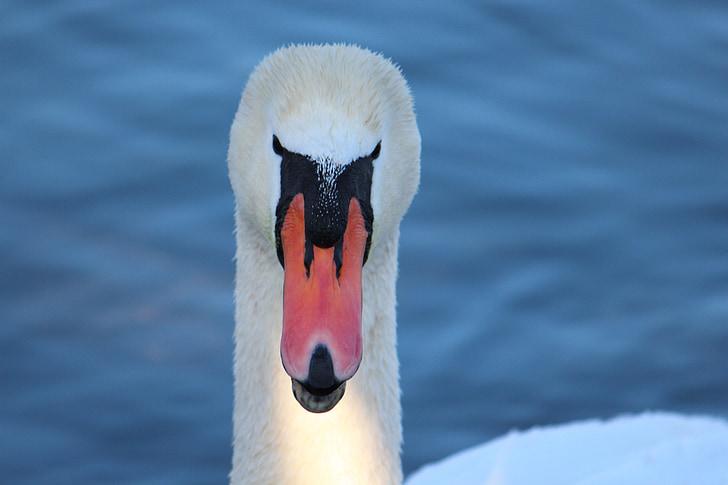 swan, lake, water, plumage, animal world