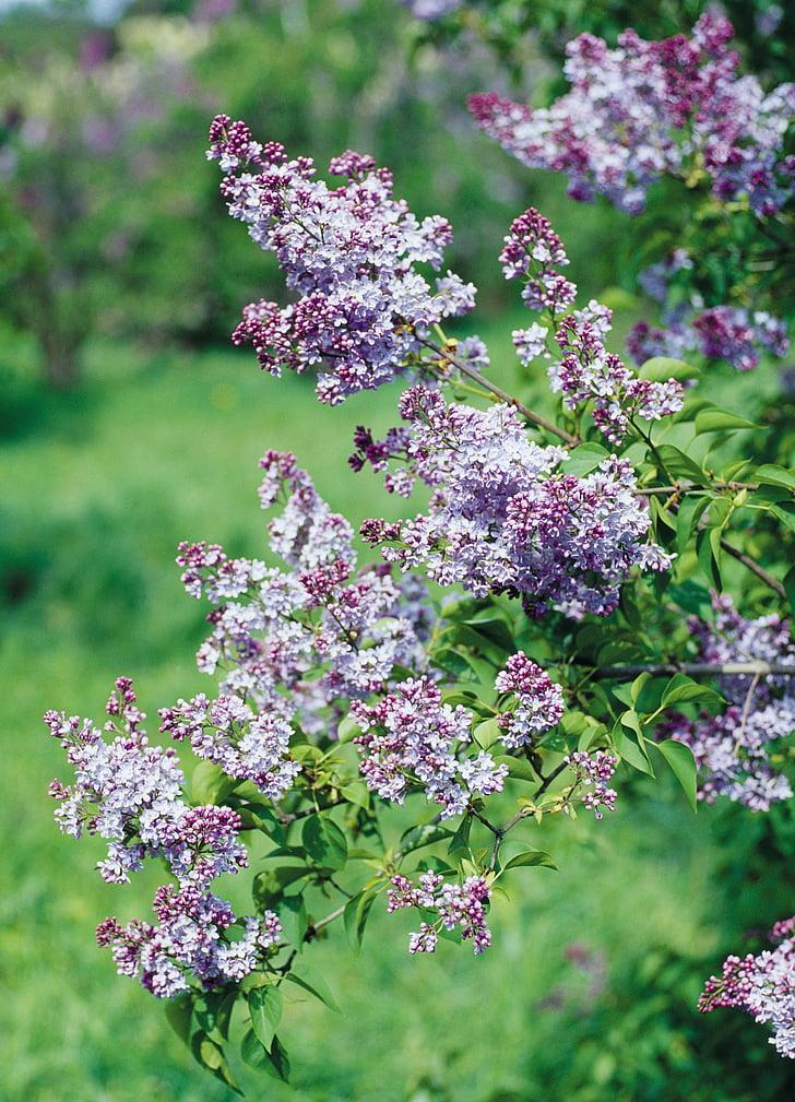 alyvinė, krūmas, gėlės, žydinčių krūmų, violetinė, rausvai violetinės spalvos, pavasarį