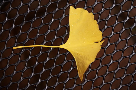 ginkgo, ginkgo leaf, autumn, flora, welkes sheet, withered, yellow sheet