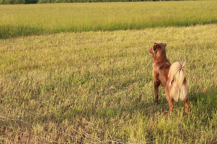 hund, canine, brun, brun hund, blå øjne, indenlandske, søger