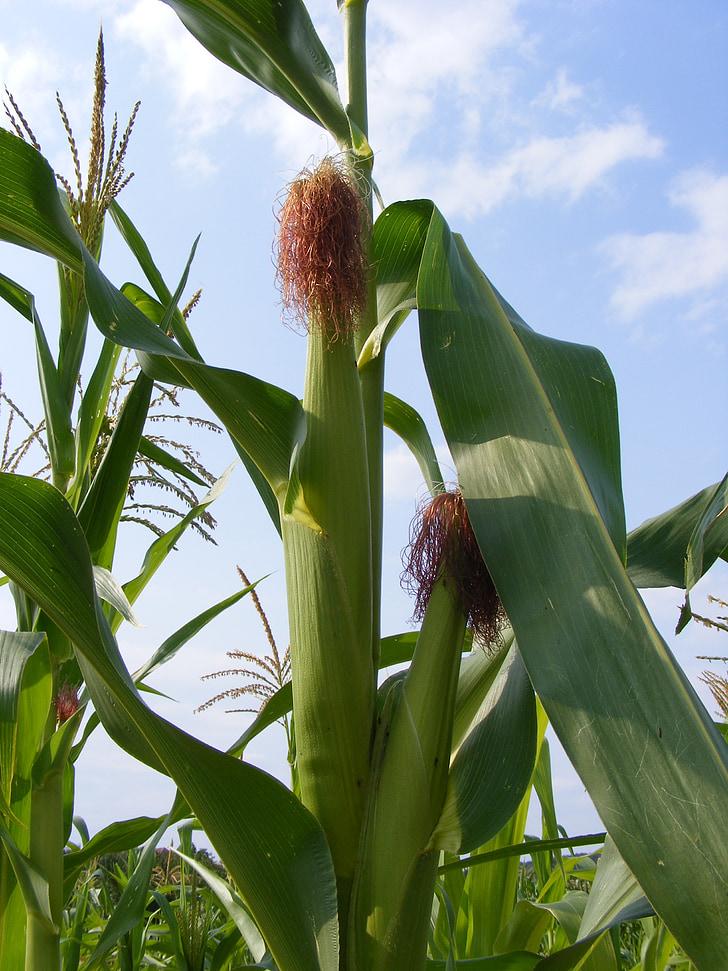 l'agricultura, panotxa, blat de moro, verd, laberint, crua, plantes