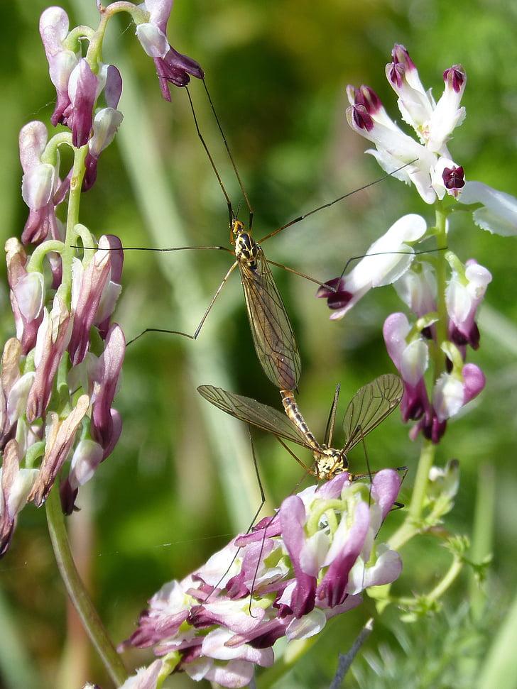 típula, mosquit, flors silvestres, tipúlidos, mosquit gran, insectes d'aparellament, còpula