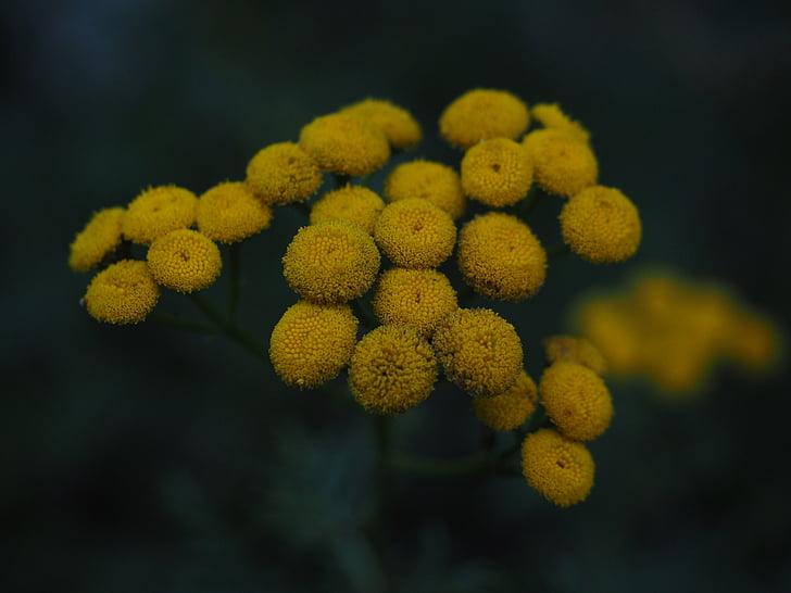bitkrėslė, gėlės, geltona, Tanacetum vulgare, Chrizantema vulgare, širdys vaistažolių, Kompozitai