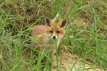 junger Fuchs, Fuchsbau, spielen, Welpe, Fuchs-Welpen, Tier, Fuchs