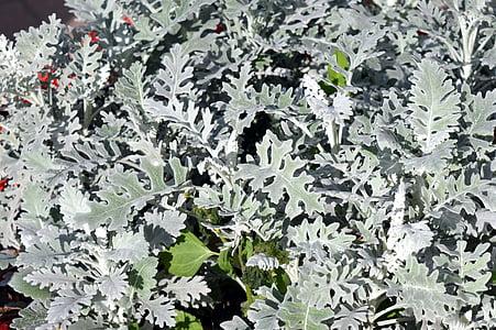cinerárie, kvetinový záhon, kvet, rastlín, striebro, výsadba zelene, letné kvety