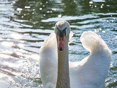 gulbis, ūdens, peldēšana, balta, tīri, monogamous, ūdens putnu