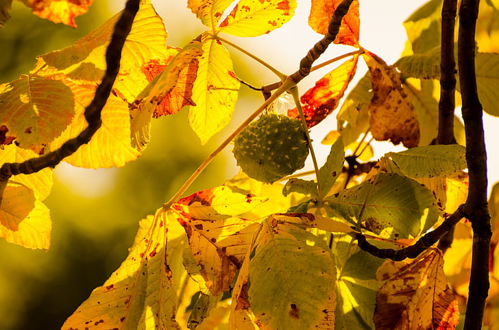 filial, castanha, natureza, estações do ano, Outono, natural