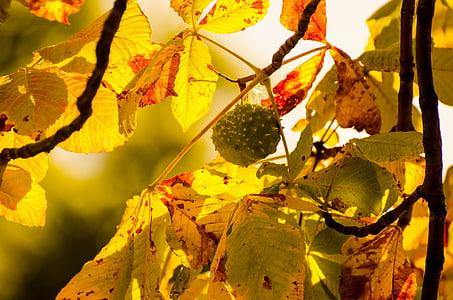 filiaali, kastan, loodus, Seasons, Sügis, looduslik