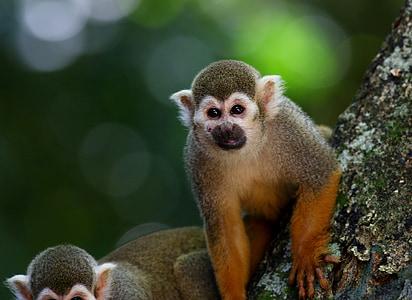 mico perfumades, primats, animal, salvatge, a l'arbre, hàbitat natural, mirant