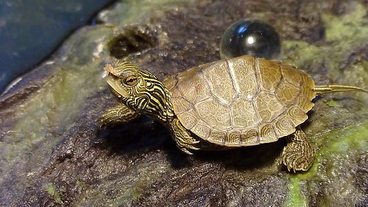 majhni želva, želva s hrano, plazilcev, živalski vrt, akvarij, želva, mala