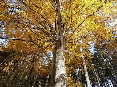 δέντρο, το φθινόπωρο, το στέμμα του δέντρου, φύλλα, φυλλοβόλο δέντρο, Κίτρινο