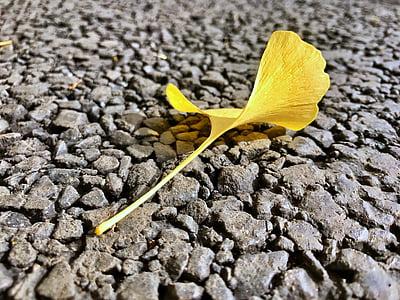 ginkgo biloba, autumn, yellow, one slice, beautiful, leaf, apricot
