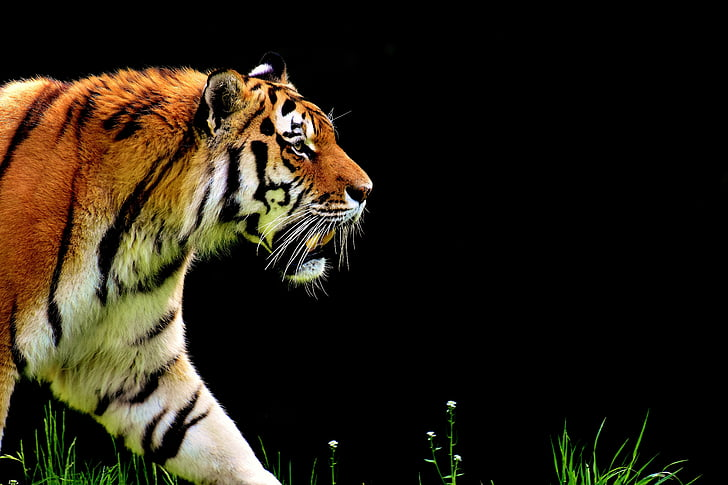 tiger, predator, fur, beautiful, dangerous, cat, wildlife photography