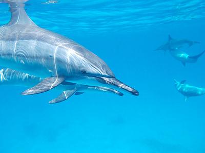 Dolphin, Ocean, Sea, vesi, Luonto, Marine, vedessä