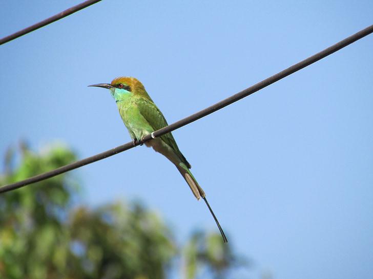 Vodomar, ptica, alcedo mi, mali, zelena, egzotične, tropska