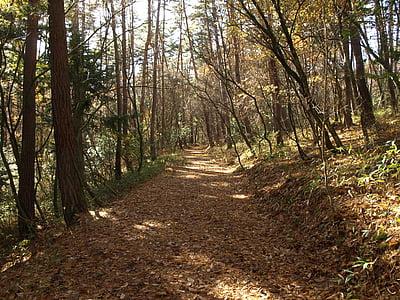 Forest, cestné, opadané lístie, Japonsko, lúčov, Príroda, strom