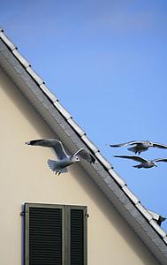 Gavina, cel, ocells, casa, finestra, eixam, blau