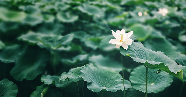 lotus leaf, summer, lotus, green, the beginning of summer, pond