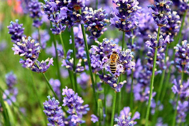 Levanda, bičių, Hummel, violetinė, vabzdžių, violetinė, levandų žiedų