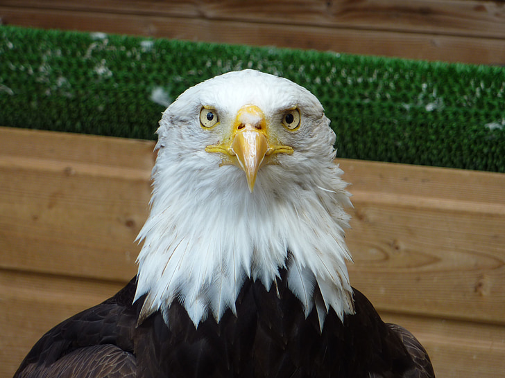 граблива птица, орел, птица, природата