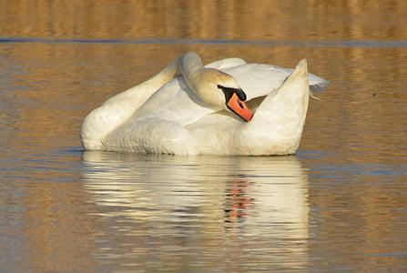 Schwan, Tier, Wasservögel, Singschwan
