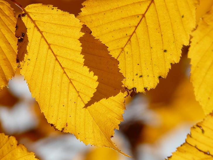 Leaf, atstāj, rudens, skābarža, Carpinus betulus, baltais bērzs, bērza siltumnīcefekta