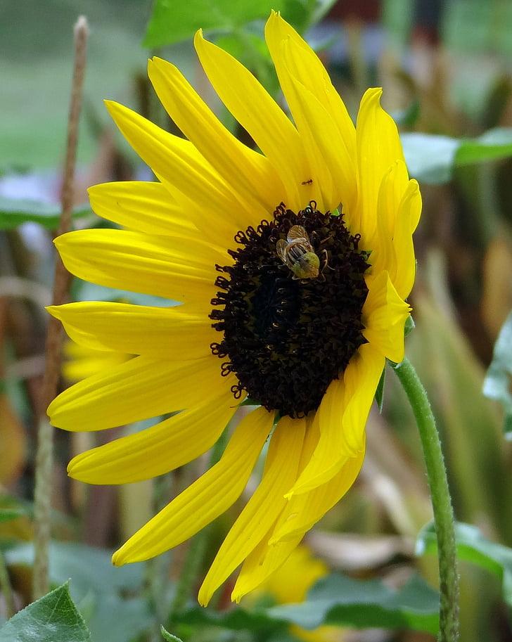 napraforgó, dísznövények, méh, makró, közeli kép:, virág, sárga