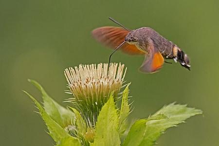 hummingbird hawk moth, carp tail, owls, flower, proboscis, insect, nectar