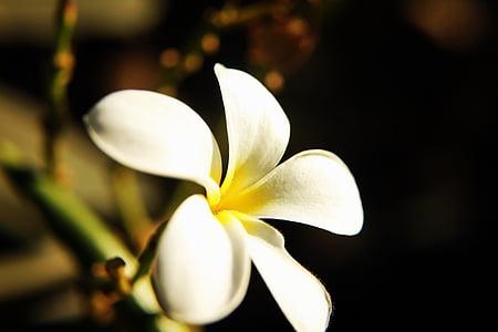 꽃, plumeria, 프 르 메리 아, 노란색, 템플 트리, 참파, 클로즈업