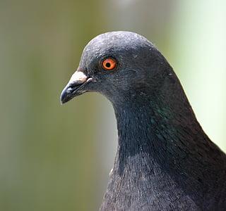 holub, vták, oči, detailné, Dove, Príroda, mier