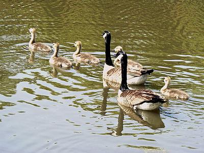 hanhet, nuori, Söpö, kevään, elämä, Wildlife, Gosling