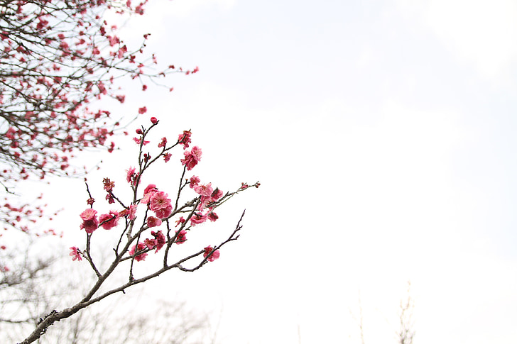 japanese peace park, march, plum blossom