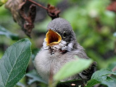 врабче, wróbelek, птица, мацка, животните, клонове, храстите