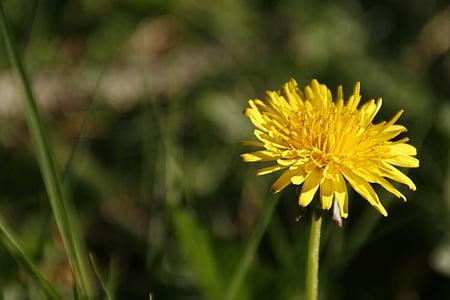 Regrat, plevela, cvet, rumena, Flora