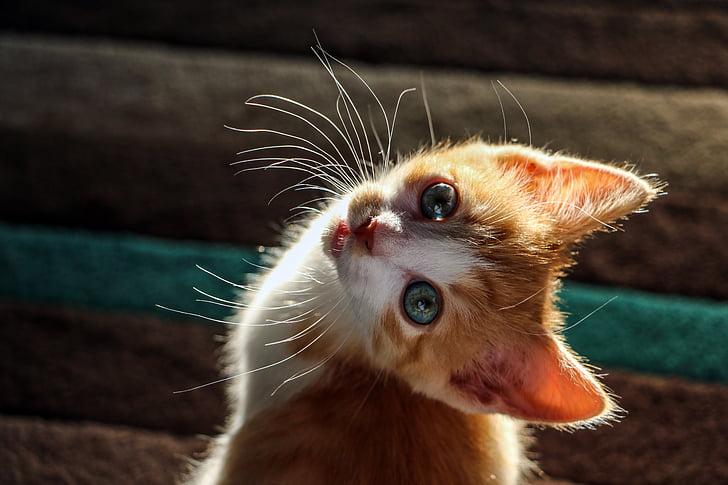 子猫, 猫, かわいい子猫, キティ, かわいい猫, 好奇心が強い, ウィスカー
