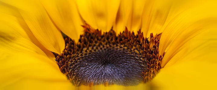 Helianthus, Sun flower, kollane, pruun, suvel, õis, Bloom
