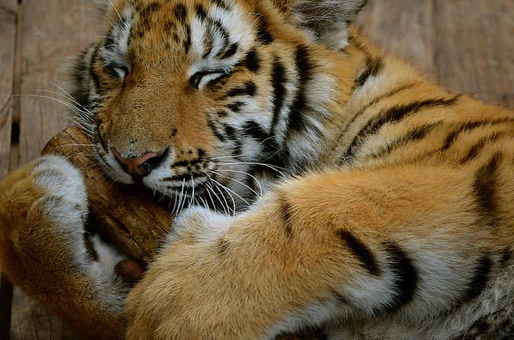 tiger, south africa, africa, animal, nature, cat, mammal