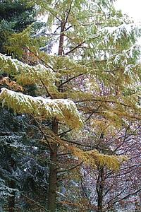 larch, snow, winter, tree, wintry, snowy, conifer