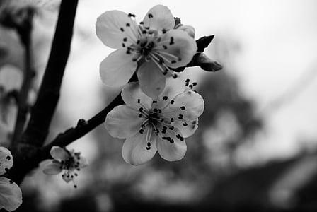 cirera, blanc i negre, flors, dolçor, natura, papallona, jardí