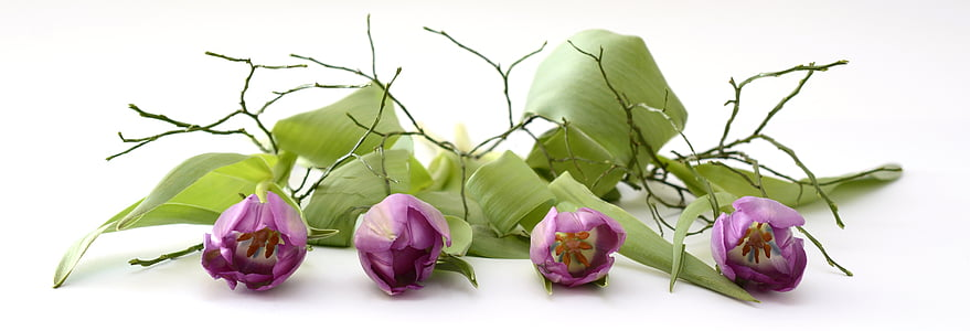 Tulipa, tulpenbluete, flor, flor, flors, primavera, violeta