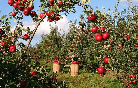 Apple, puu, Orchard, punane, roheline, redel, saagi
