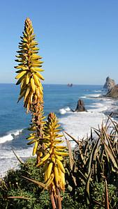 Aloe, Vera, Aloe vera, prava aloja, Kanarski otoci, Tenerife, cvijeće