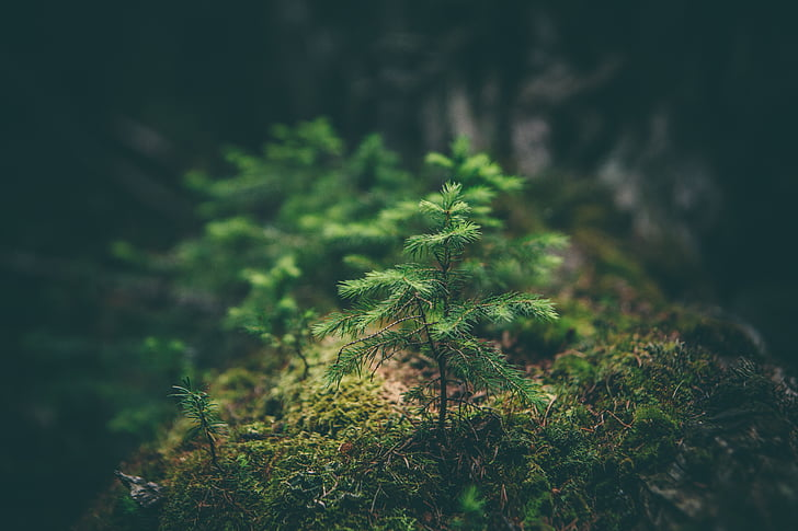 Fir, grøn, vækst, lille, træ
