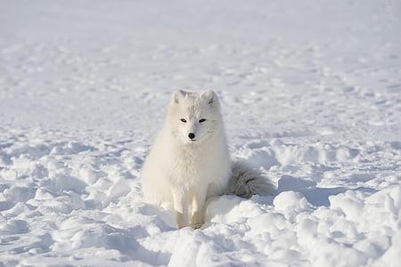 white, fox, animal, wildlife, snow, winter, outdoor