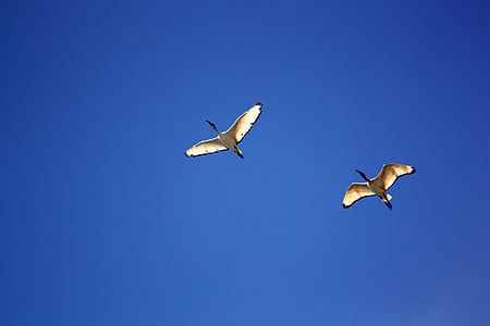 bird, birds, blue, flight, flying, geese, goose