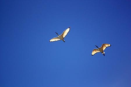 bird, birds, ibis, flight, ala, stork, sky