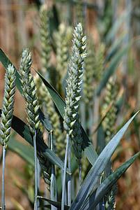 wheat, cereals, halm, spike, wheat field, cornfield