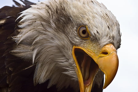 Adler, Beyaz baş, Yırtıcı Kuş, kuş, Kel kartal, Raptor, Beyaz kuyruklu kartal